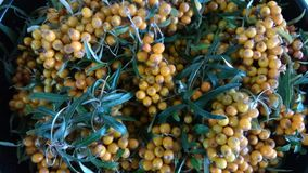 L'olivello spinoso è una bacca dell'arancia dolce Bacche su un ramo fotografie stock libere da diritti