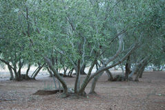 L'oliveto Fotografia Stock Libera da Diritti