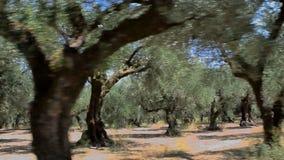 L'oliveto stock footage