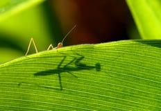 L'ombre de mantis de prière photographie stock libre de droits
