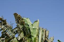 L'ondeggiamento d'oscillazione di moto della foglia della banana ha smazzato dai forti venti Fotografia Stock