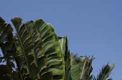 L'ondeggiamento d'oscillazione di moto della foglia della banana ha smazzato dai forti venti sotto Fotografia Stock