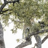 L?opard en parc national de Kruger, Afrique du Sud photos libres de droits