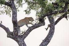 L?opard en parc national de Kruger, Afrique du Sud photographie stock
