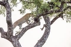 L?opard en parc national de Kruger, Afrique du Sud photo stock