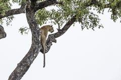 L?opard en parc national de Kruger, Afrique du Sud photos stock