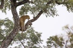 L?opard en parc national de Kruger, Afrique du Sud images stock