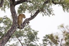 L?opard en parc national de Kruger, Afrique du Sud photographie stock libre de droits