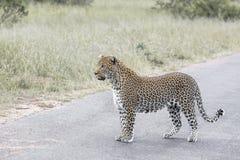 L?opard en parc national de Kruger, Afrique du Sud photo libre de droits
