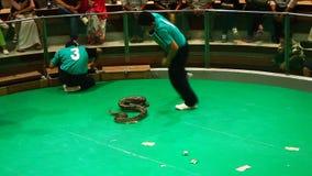 L'operatore del serpente con una cobra tossica mostra i suoi trucchi nell'azienda agricola del serpente di Maetaeng video d archivio