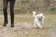 L'operatore ed il cane crestato cinese sta camminando in tempo fangoso immagini stock