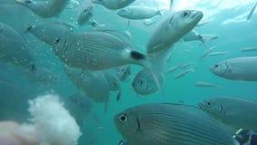 L'operatore subacqueo alimenta il pesce con pane archivi video