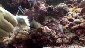 L'operatore subacqueo alimenta la murena con mangime per pesci dalle mani underwater in Maldive video d archivio