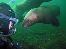 L'operatore subacqueo di scuba incontra il leone di mare della California immagini stock libere da diritti