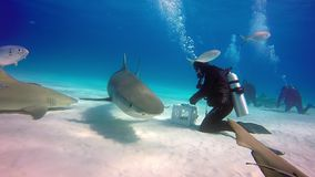 L'operatore subacqueo doma il underwater dello squalo di toro sul fondo sabbioso di Tiger Beach Bahamas archivi video
