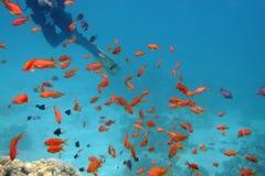 L'operatore subacqueo nuota via sopra i coralli Immagine Stock