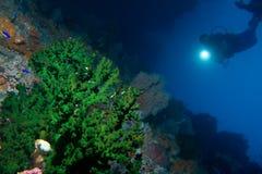 L'operatore subacqueo osserva un corallo verde Immagine Stock Libera da Diritti