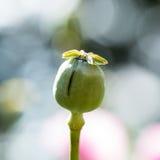 L'opium avait été réduit image stock