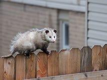 L'opossum cammina attraverso un recinto Immagini Stock Libere da Diritti