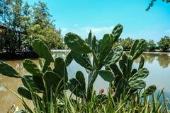 L'opunzia del cactus si sviluppa accanto allo stagno fotografia stock libera da diritti