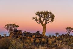 L'ora blu si trasforma in in ora dorata alla foresta dell'albero del fremito Fotografia Stock Libera da Diritti