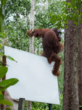 L'orang-outan auburn se repose sur le coin arrière du panneau d'affichage dans la jungle (Indonésie) Photo stock
