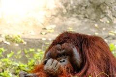 L'orang-outan détendent images libres de droits