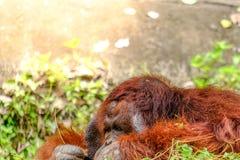 L'orang-outan détendent photographie stock