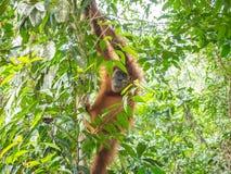 L'orang-outan dans Bukit Lawang s'élèvent vers le bas de l'arbre image libre de droits