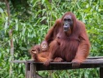L'orang-outan de bébé dépend de sa maman sur une plate-forme en bois Photographie stock libre de droits