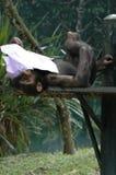 L'orang-outan de détente utan Image stock