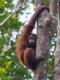 L'orang-outan de l'adolescence roux songeur a saisi l'arbre et le regard loin Photo libre de droits