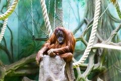 L'orang-outan manque le zoo image stock