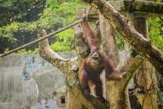 L'orang-outan, une de grandes singes indig?nes en Indon?sie et la Malaisie photos stock