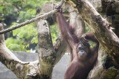 L'orang-outan, une de grandes singes indig?nes en Indon?sie et la Malaisie images libres de droits