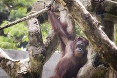 L'orang-outan, une de grandes singes indig?nes en Indon?sie et la Malaisie photo stock