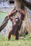 L'orang-outan, une de grandes singes indig?nes en Indon?sie et la Malaisie photographie stock