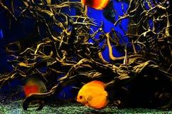 L'orange avec les poissons blancs de diskus nage profondément près des algues images libres de droits