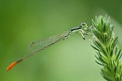 L'orange a coupé la queue les perches vertes de libellule/Damselfly/Zygoptera sur la plante verte Image stock
