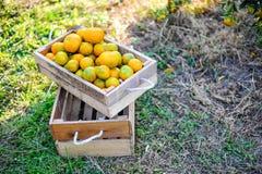 L'orange dans la boîte n'est pas stockée Et orange dans le jardin d'agrume Photographie stock