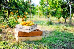 L'orange dans la boîte n'est pas stockée Et orange dans le jardin d'agrume Images stock
