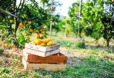 L'orange dans la boîte n'est pas stockée Et orange dans le jardin d'agrume Image libre de droits