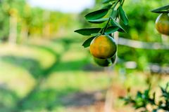 L'orange dans la boîte n'est pas stockée Et orange dans le jardin d'agrume Photos stock