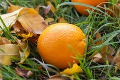L'orange est tombée sur l'herbe Orange parmi des feuilles d'automne Photographie stock libre de droits