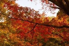 L'orange et le rouge part dans un arbre pendant l'automne dans le jardin national de Shinjuku Gyoen, Tokyo, Japon photos libres de droits