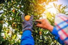 L'orange et les mains du jardinier orange sont faites à chaque d Photographie stock libre de droits
