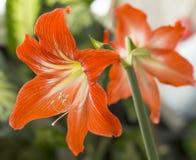 L'orange fleurit Hippeastrum ou Amaryllis en Ba de jardin de nature photos libres de droits