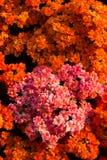 L'orange fleurit le fond Photo libre de droits