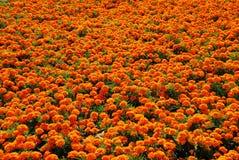 L'orange fleurit le fond Images stock