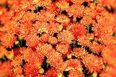 L'orange fleurit le fond Photo stock